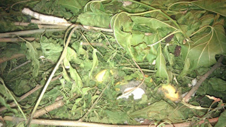 Il bozzolo dei bachi da seta