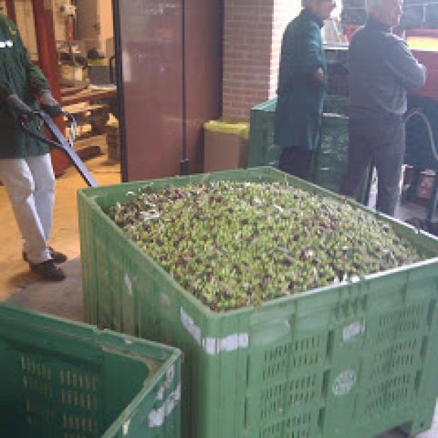 La molitura delle olive