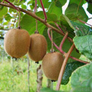 coltivazione_kiwi1