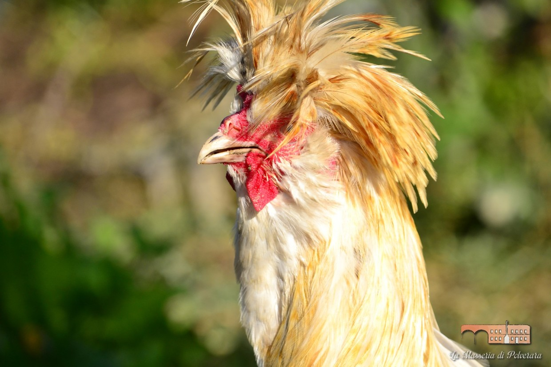 Telechiara alla Masseria: una bella intervista per scoprire le nostre galline