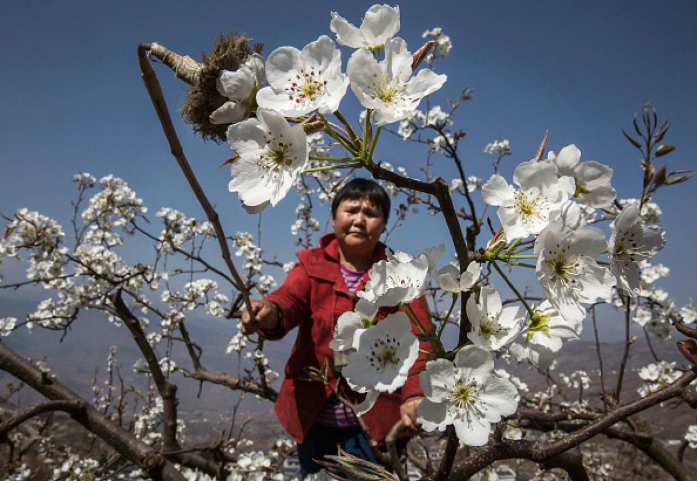 Le api stanno morendo: in Cina impollinano gli esseri umani [fotogallery]